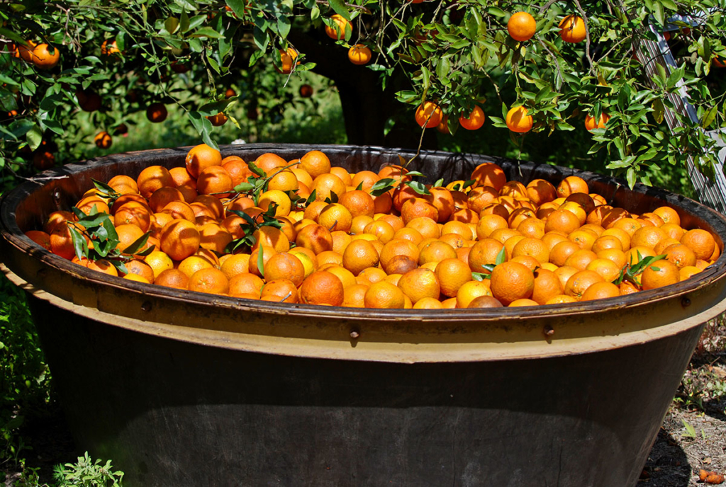 A tub of harvested oranges