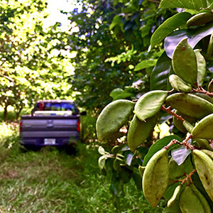 Pongamia trees